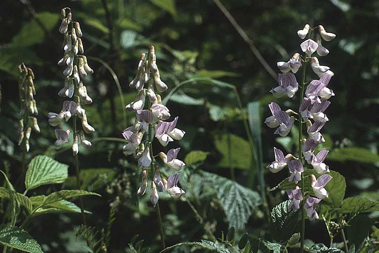 Vicia sylvatica \ Wald-Wicke / Wood Vetch, A Almajur - Tal / Valley 13.7.1987