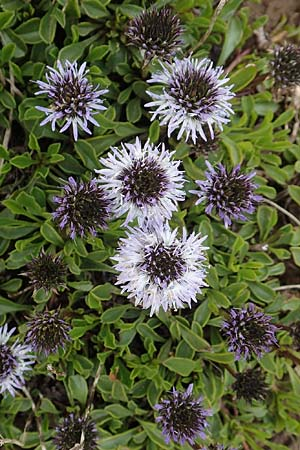 Globularia cordifolia \ Herzblättrige Kugelblume / Leather-Leaf Powder-Puff, A Rax 28.6.2020