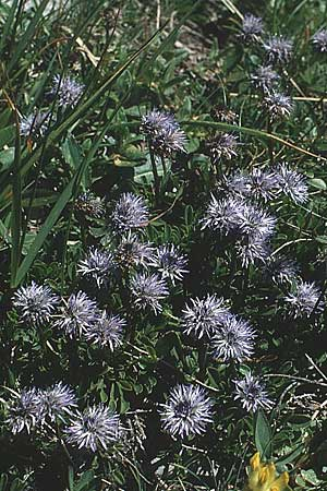 Globularia cordifolia \ Herzblättrige Kugelblume / Leather-Leaf Powder-Puff, A Widderstein 17.8.1987