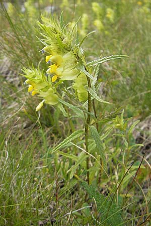 Rhinanthus alpinus ? \ Alpen-Klappertopf / Alpine Yellow-Rattle, A Malta - Tal / Valley 19.7.2010