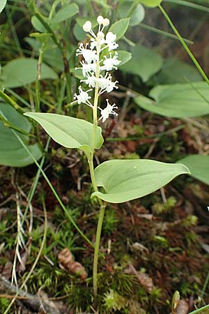 Maianthemum bifolium / May Lily, False Lily of the Valley, A Osttirol, Porze 13.7.2019