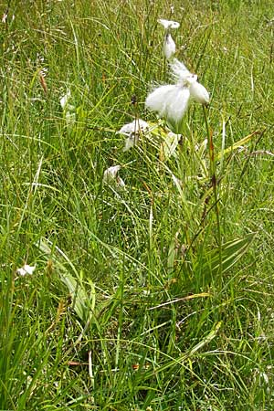 Eriophorum angustifolium \ Schmalblättriges Wollgras / Common Cotton Grass, A Malta - Tal / Valley 19.7.2010