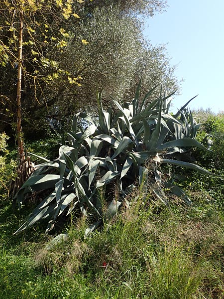 Agave americana \ Amerikanische Agave / American Agave, Chios Vavili 28.3.2016