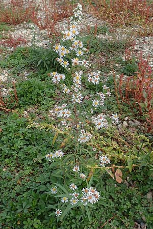 Symphyotrichum lanceolatum \ Lanzett-Herbst-Aster / Narrow-Leaved Michaelmas Daisy, White Panicle Aster, D Mannheim Reiß-Insel 17.10.2015