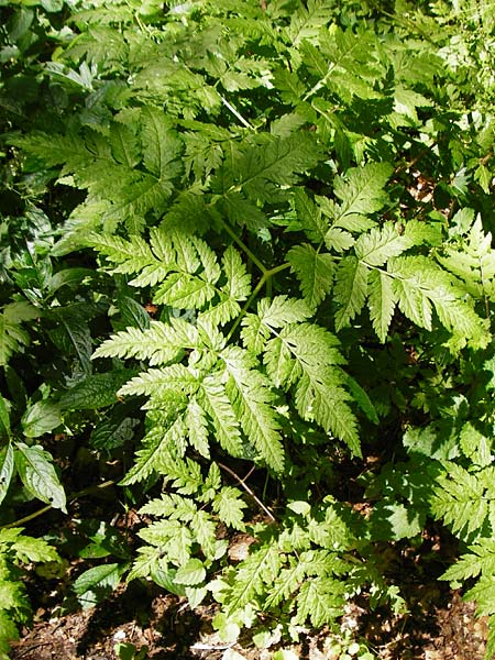 Anthriscus nitida \ Glanz-Kerbel / Glossy-Leaved Parsley, D Beuron 11.7.2015