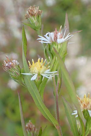 Symphyotrichum lanceolatum \ Lanzett-Herbst-Aster / Narrow-Leaved Michaelmas Daisy, White Panicle Aster, D Karlsruhe 3.10.2015