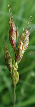 Bromus racemosus \ Trauben-Trespe / Bald Brome, D Odenwald, Affolterbach 16.6.2017