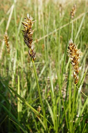 Carex disticha \ Zweizeilige Segge / Brown Sedge, Two-Ranked Sedge, D Karben 2.5.2015