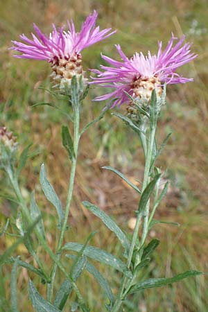 Centaurea angustifolia \ Östliche Schmalblättrige Flockenblume / Eastern Narrow-Leaved Brown Knapweed, D Ronshausen 29.7.2019