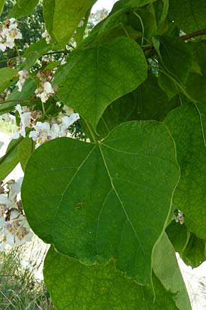 Catalpa bignonioides / Common Catalpa, Indian Bean Tree, D Aglasterhausen 5.7.2015