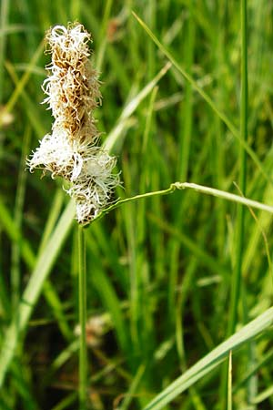 Carex disticha \ Zweizeilige Segge / Brown Sedge, Two-Ranked Sedge, D Gimbsheim 11.5.2015