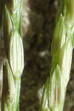 Digitaria sanguinalis \ Blutrote Fingerhirse / Hairy Finger-Grass, D Mannheim 17.9.2017