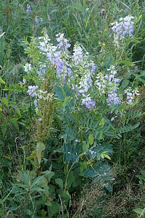 Galega officinalis / Goat's Rue, D Black-Forest,  Hornisgrinde 30.7.2017