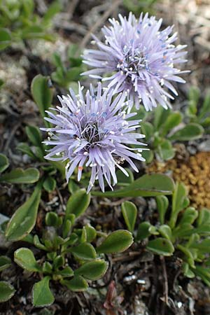 Globularia cordifolia \ Herzblättrige Kugelblume / Leather-Leaf Powder-Puff, D Eching 2.5.2019