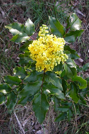 Mahonia aquifolium \ Mahonie / Oregon Grape, D Mannheim 14.4.2015