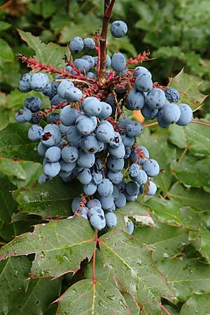 Mahonia aquifolium \ Mahonie / Oregon Grape, D Bensheim 13.9.2015