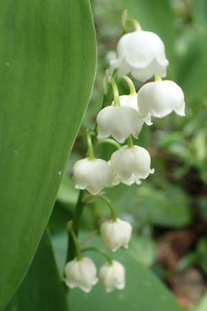 Convallaria majalis \ Maiglöckchen / Lily of the Valley, D Werbachhausen 20.5.2017