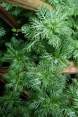 Myriophyllum aquaticum, Parrot Feather Water Milfoil