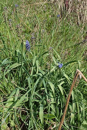 Muscari aucheri \ Auchers Traubenhyazinthe / Aucher-Eloy Grape Hyacinth, D Laudenbach 16.4.2019