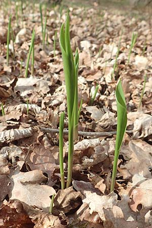 Convallaria majalis \ Maiglöckchen / Lily of the Valley, D Pfalz, Speyer 31.3.2017