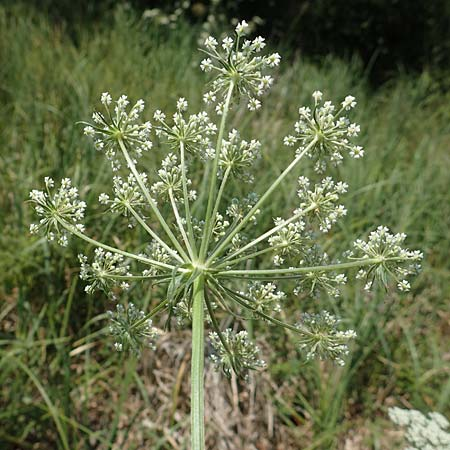 Peucedanum palustre \ Sumpf-Haarstrang / Marsh Hog's Parsley, Milk Parsley, D Bienwaldmühle 8.7.2017