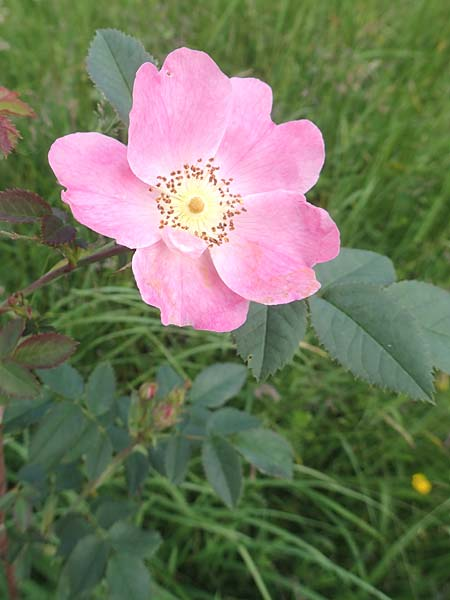 Rosa vosagiaca \ Vogesen-Rose, Blaugrüne Rose / Glaucous Dog Rose, Thick-Leaved Rose, D Rechtenbach 20.6.2016
