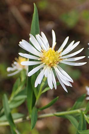 Symphyotrichum lanceolatum \ Lanzett-Herbst-Aster / Narrow-Leaved Michaelmas Daisy, White Panicle Aster, D Mannheim Reiß-Insel 6.10.2017