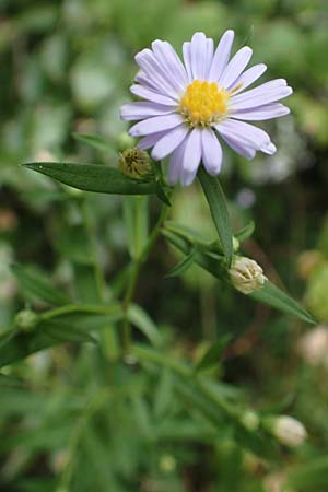 Symphyotrichum lanceolatum \ Lanzett-Herbst-Aster / Narrow-Leaved Michaelmas Daisy, White Panicle Aster, D Obernburg am Main 17.9.2016