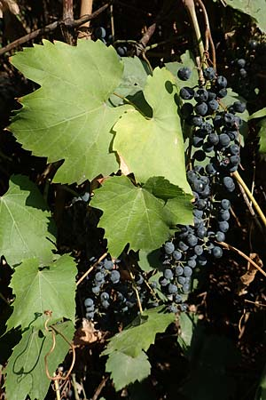 Vitis riparia, Riverbank Grape, Frost Grape