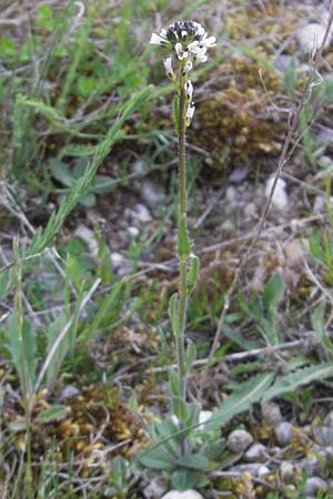 Arabis hirsuta / Hairy Rock-Cress, D Eching 5.5.2012