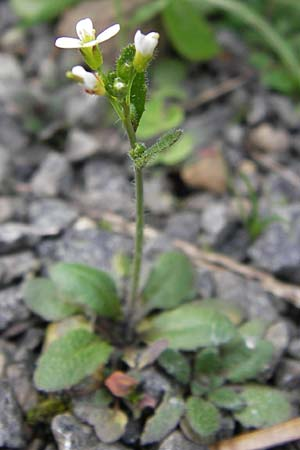 Arabis hirsuta / Hairy Rock-Cress, D Odenwald, Michelstadt 6.10.2012