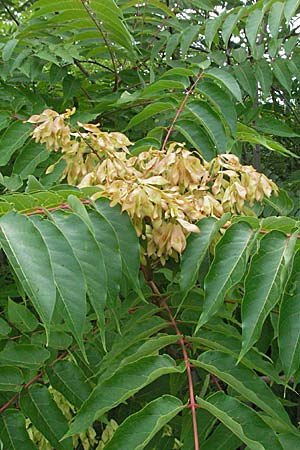 Ailanthus altissima / Tree of Heaven, D Mannheim 28.6.2007