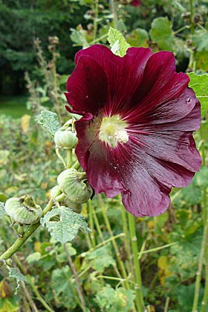 Alcea rosea \ Stockrose / Common Hollyhock, D Botan. Gar.  Universit.  Mainz 13.9.2008