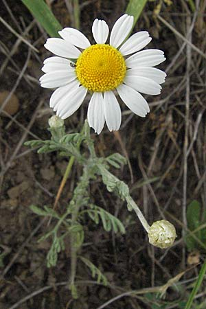 Anthemis ruthenica, Russian Chamomile