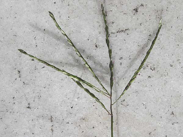 Digitaria sanguinalis \ Blutrote Fingerhirse / Hairy Finger-Grass, D Mannheim 28.9.2014