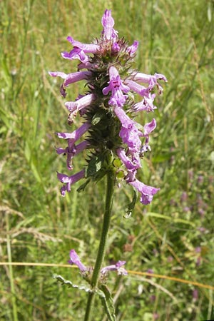 Betonica officinalis, Betony