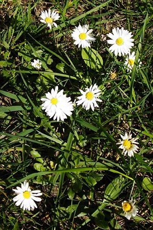 Bellis perennis, Common Daisy