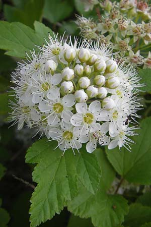 Physocarpus opulifolius, Common Ninebark