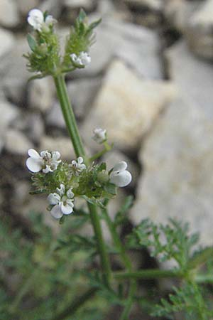 Caucalis platycarpos / Small Bur Parsley, D Karlstadt 16.6.2007