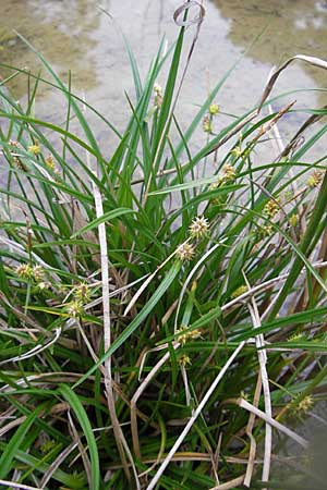 Carex demissa \ Grün-Segge / Common Yellow Sedge, D Hassloch 9.7.2009