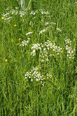 Anthriscus nitida \ Glanz-Kerbel / Glossy-Leaved Parsley, D Warburg 31.5.2014