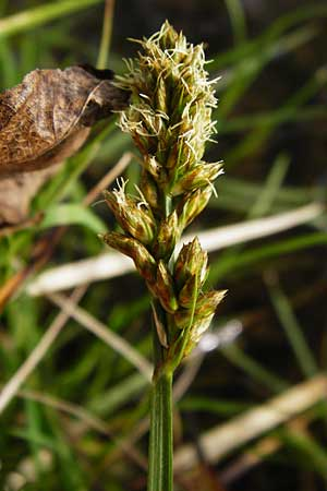 Carex disticha \ Zweizeilige Segge / Brown Sedge, Two-Ranked Sedge, D Lorsch 7.4.2014