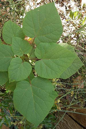 Catalpa bignonioides / Common Catalpa, Indian Bean Tree, D Mannheim 16.9.2012