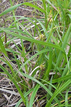 Carex demissa \ Grün-Segge / Common Yellow Sedge, D Bad Dürkheim 19.7.2009