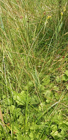 Carex demissa \ Grün-Segge / Common Yellow Sedge, D Heidelberg 24.7.2013