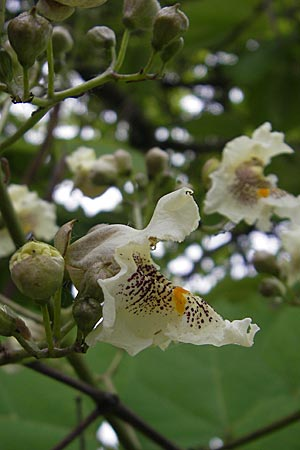 Catalpa bignonioides \ Gewöhnlicher Trompetenbaum, Beamtenbaum / Common Catalpa, Indian Bean Tree, D Viernheim 8.6.2009