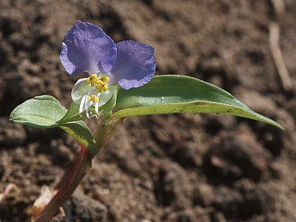 Commelina communis, Spiderwort