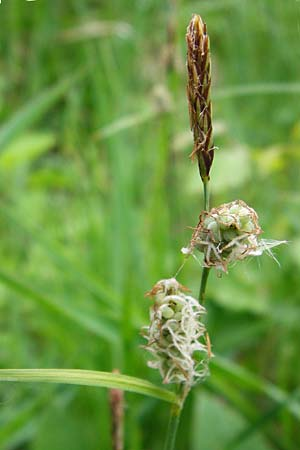 Carex tomentosa \ Filz-Segge / Downy-Fruited Sedge, D Mannheim 29.4.2014
