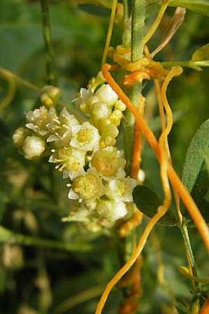 Cuscuta campestris, Yellow Dodder
