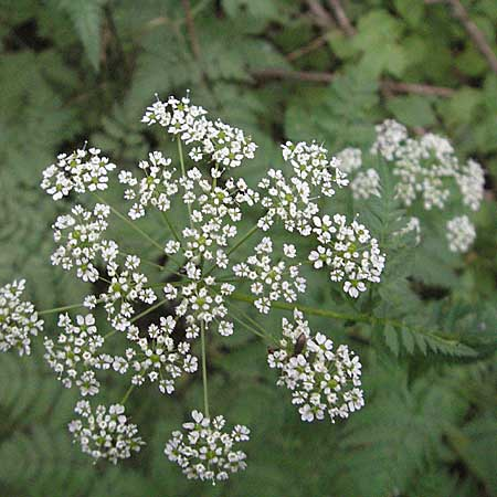 Anthriscus nitida \ Glanz-Kerbel / Glossy-Leaved Parsley, D Neuleiningen 16.6.2006
